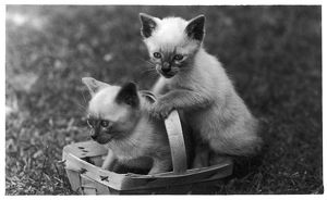 SIAMESE KITTENS & BASKET