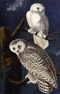 Snowy Owl, by John James Audubon