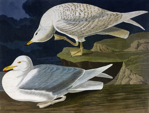 White-Winged Silvery Gull, by John James Audubon