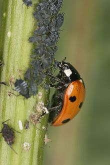 7-Spot Ladybird - eating Aphid