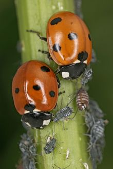7-Spot Ladybird - two eating aphids