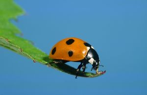 7-Spot Ladybird - On leaf