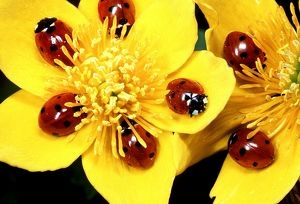 7-SPOT LADYBIRD - on Marsh Marigolds