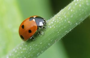 7-Spot LADYBIRD - Surrounded by dew drops