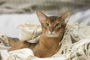 Abyssinian cat indoors