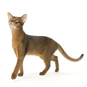 Abyssinian cat in the studio