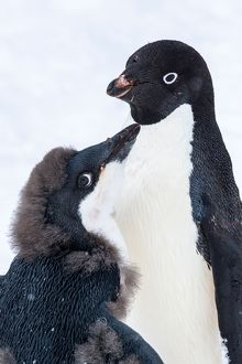 Adelie Penguin adult and chick