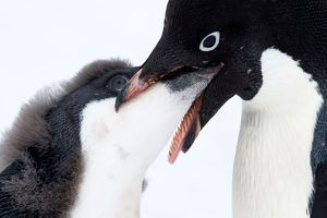 Adelie Penguin adult feeding chick