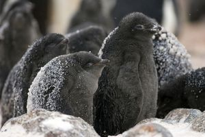 Adelie Penguin - chick in snow storm