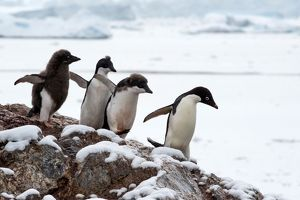 Adelie Penguin chicks chasing adult for food