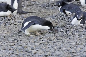 Adelie Penguin - collecting pebbles for nest.