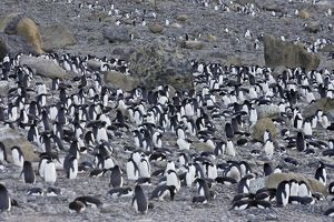 Adelie Penguin - colony.
