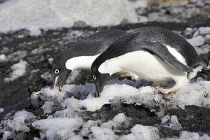Adelie Penguin - two eating snow