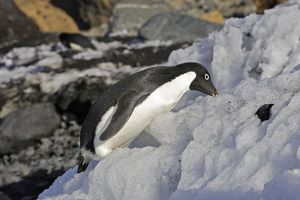 Adelie Penguin - eating snow.