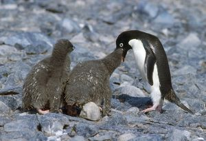 Adelie Penguin - feeding chicks