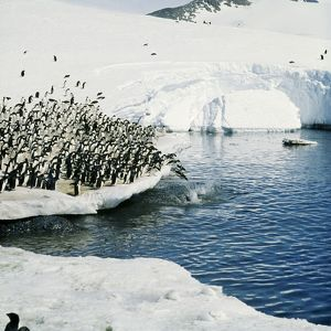 Adelie Penguin - group jumping off ice