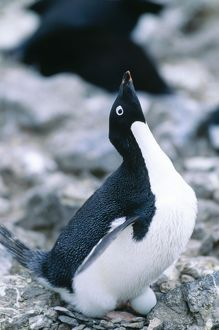 Adelie Penguin - incubating egg