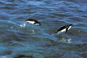 Adelie Penguin - In sea porpoising
