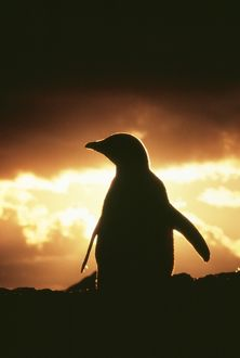 Adelie Penguin - Single bird silhouette