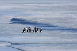 Adelie Penguin, Small group standing on sea ice