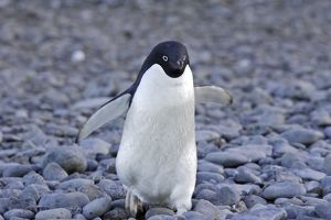 Adelie Penguin - walking.