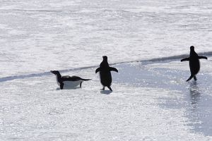 Adelie Penguin - three walking across ice