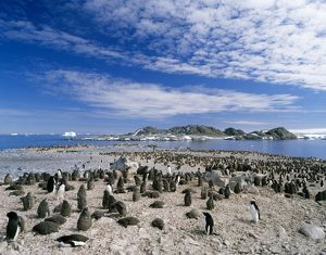Adelie Penguins - adult and chicks