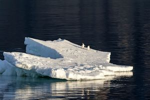 Adelie Penguins on iceberg floating in the sea