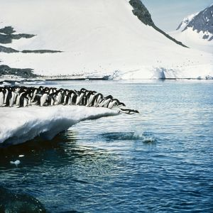 ADELIE PENGUINS - leaping off ice
