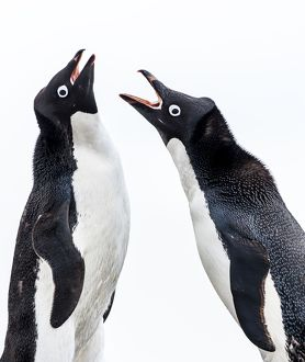 Adelie Penguins squawking at each other