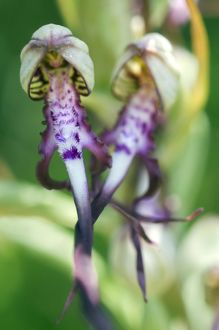 Adriatic Lizard Orchid