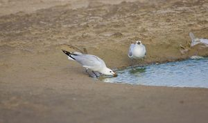 Adult Audoiuns Gulls drinking fresh water