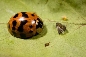 Adult Harlequin Ladybird with newly hatched larvae and eggs.