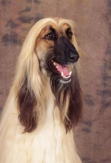 AFGHAN HOUND DOG - head