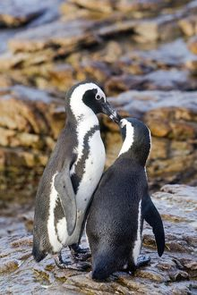 African / Black-footed / Jackass Penguin