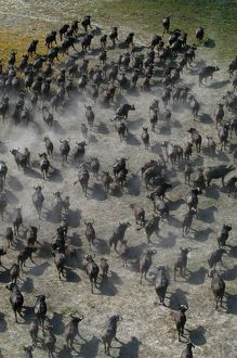 African / Cape Buffalo - Aerial view of Cape Buffalo running