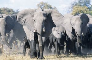 African ELEPHANT - breeding herd with matriarch threatening