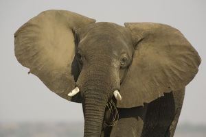 African Elephant - Bull displays his ears in order to warn the photographer.