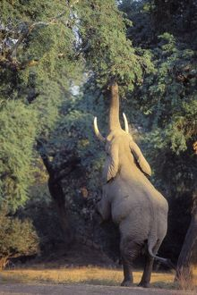 African Elephant - Bull shaking acacia tree to dislodge seedpods which it will then pick up off ground and eat.