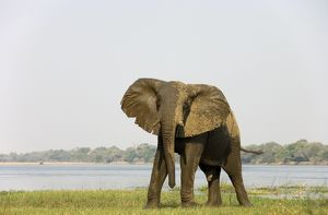 African Elephant - Bull has been taking a bath at the bank of the Zambezi River.