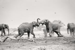 African Elephant - bulls displaying aggressive behaviour when in musk - at drying