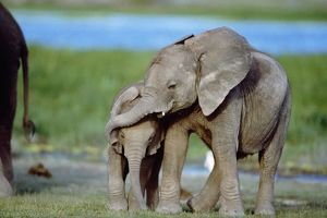 African Elephant - calves playing