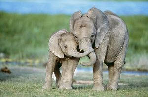 African ELEPHANT - two calves with trunks together