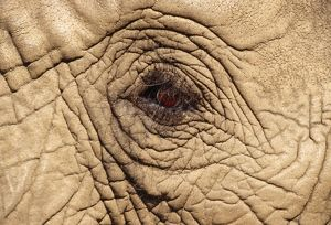 African ELEPHANT - Close-up of eye