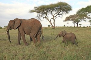 African Elephant - cow and calf