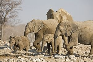 African Elephant - Cow and young. Family group picking way through rocks