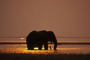 African Elephant - feeding in Lake