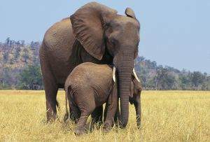 African ELEPHANT - female / cow with young calf