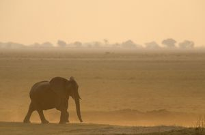 African Elephant - Female on her way to the Chobe River in the evening.
