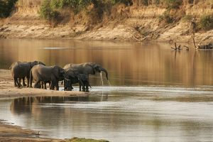 African Elephant - group drinking at water.